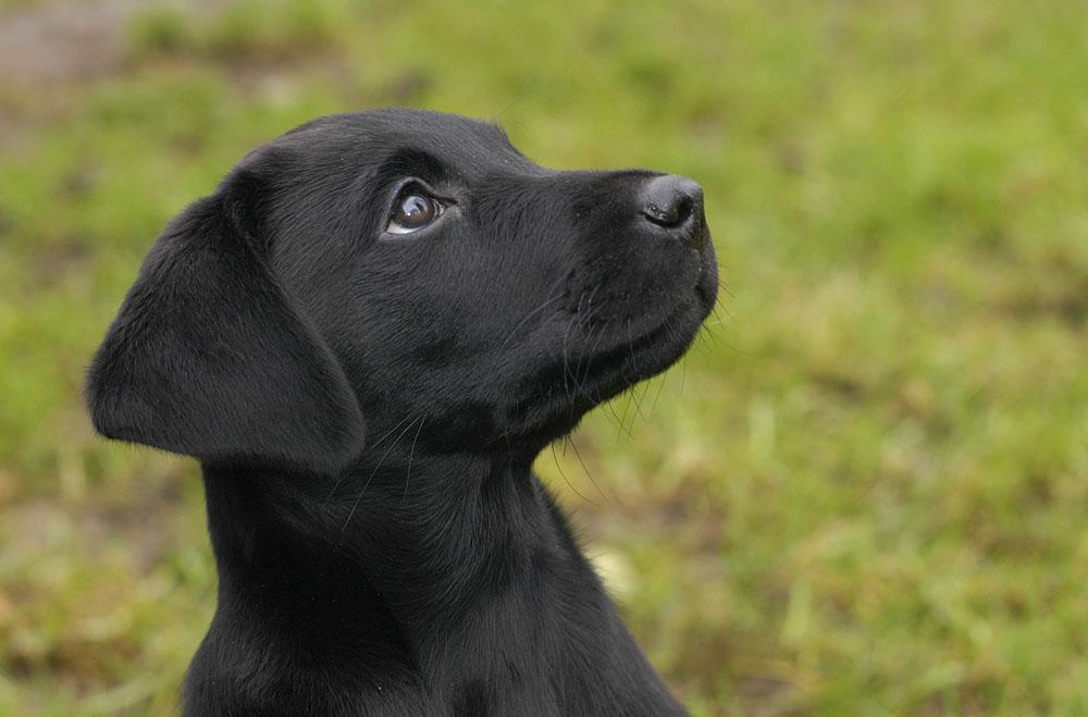 News Shitando Labradors