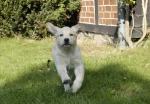 flying_puppy